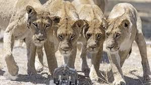 Gevochten als leeuwinnen